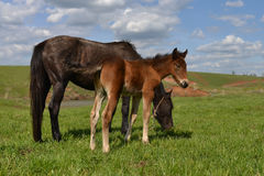 Cheerful young foal with its mother pasturing on the meadow.  Stock Image
