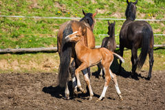Cheerful young foal on the meadow Royalty Free Stock Photos