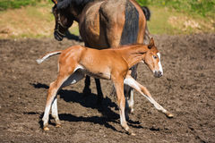 Cheerful young foal on the meadow Stock Images