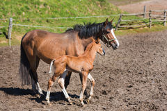 Cheerful young foal on the meadow Royalty Free Stock Photography