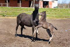 Cheerful young foal on the meadow. Cheerful young foal with its mother on the meadow in spring royalty free stock images