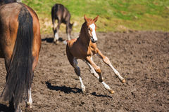 Cheerful young foal on the meadow. Cheerful young foal with its mother on the meadow in spring stock image