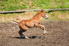 Cheerful young foal on the meadow. In spring royalty free stock images