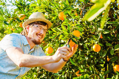 Cheerful young man harvests oranges and mandarins Royalty Free Stock Photos