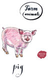 Cheerful young piglet. Hand drawn - watercolor vector Illustration Stock Image