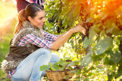 Cheerful young woman harvesting grapes Stock Photo