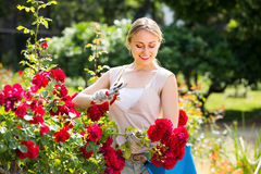 Cheerful young woman working with bush roses with horticultural. сheerful young woman working with bush roses with horticultural tools in garden on sunny day Royalty Free Stock Photos