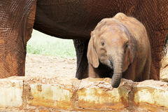 Cheerfull baby elephant. Playng in safari Stock Image