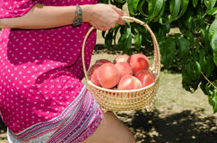 Cheerfull brunette picking fruits Royalty Free Stock Image