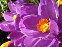 Cheering the sun. Lilac and orange flowers Stock Images