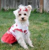 Cheerleader Doggy Stock Image
