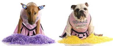 Cheerleading squad. Bull terrier and english bulldog dressed up as cheerleaders Stock Photo