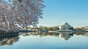 Cheerry Blossom in D.C. Stock Photography