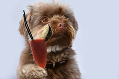 Cheers! Bolonka with drink. Portrait of a cute young bolonka zwetna dog with fruit juce drink in his paw stock image