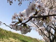 cheery blomning arkivbild