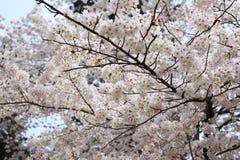 cheery blomning royaltyfri bild