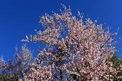 Cheery blooming in Himalaya,Nepal. royalty free stock photography