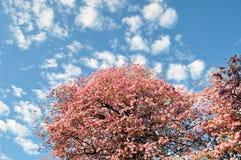 Cheery blooming in Kandy, Sri Lanka Stock Image