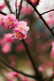 Cheery blossom royalty free stock images