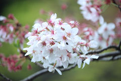 Cheery Blossom. Beauty Pink and White Cheery Blossoms on Blurred Cherry Tree Flowers closeup Royalty Free Stock Photo