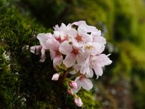 Cheery Blossom on evergreen moss stock photography