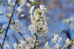 Cheery blossom flowers on spring day Stock Image