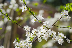 Cheery blossom flowers on spring day.  Royalty Free Stock Photo