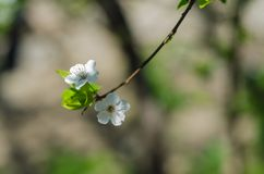 Cheery blossom flowers on spring day.  Royalty Free Stock Photography