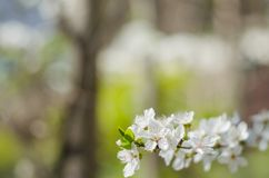 Cheery blossom flowers on spring day.  Royalty Free Stock Images