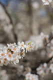 Cheery blossom flowers on spring day.  Royalty Free Stock Photos