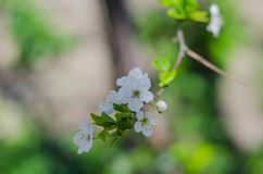 Cheery blossom flowers on spring day.  Stock Images