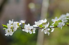 Cheery blossom flowers on spring day.  Stock Photos