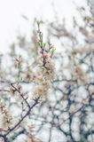 Cheery blossom flowers on spring day. Beauty flowers Stock Image
