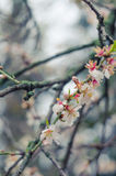 Cheery blossom flowers on spring day. Beauty flowers.  Stock Photography