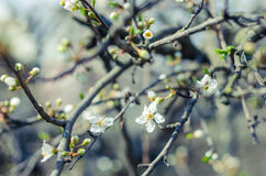 Cheery blossom flowers on spring day. Beauty flowers Royalty Free Stock Image