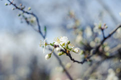 Cheery blossom flowers on spring day. Beauty flowers Stock Photo
