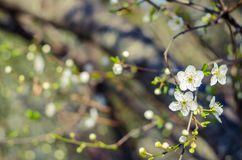 Cheery blossom flowers on spring day. Beauty flowers.  Royalty Free Stock Photos