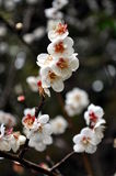 Cheery Blossoms. An image of Cheery Blossom Branches Royalty Free Stock Photos