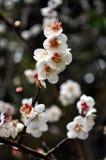 Cheery Blossoms Royalty Free Stock Photos