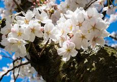 Cheery blossoms on a tree branch. Cherry trees blossoming at university campus - Seattle, WA, USA stock image