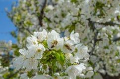 Cheery flowers Stock Photos