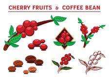 Cheery fruits and coffee beans vector illustration. Graphic element vector illustration