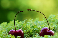 Cheery the red delicious fruit in fresh air natural view. Cheery fall in green grass in nature Royalty Free Stock Photography