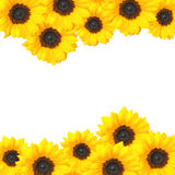 Cheery sunflower background design with copy space. Floral background border of yellow sunflower heads royalty free stock photos