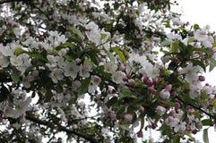 CHEERY TREE. Copenhagen /Denmark - 16. May 2017.     Chery flowers on cheery tree       Photo.Francis Dean/Deanpictures Royalty Free Stock Photo