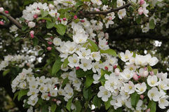 CHEERY TREE. Copenhagen /Denmark - 16. May 2017.     Chery flowers on cheery tree       Photo.Francis Dean/Deanpictures Stock Images