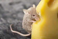 Cheese and mouse Stock Photos