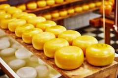 Cheese production. Cheese wheels on the shelves in diary production factory Royalty Free Stock Photo