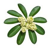 cheesewood λευκό λουλουδιών Στοκ Εικόνα