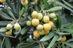 Cheesewood giapponese nella fase di fruttificazione, in alloro australiano, in pittosporum giapponese, in tobira di Pittosporum,  Fotografia Stock Libera da Diritti
